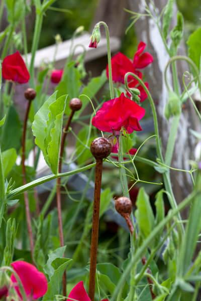 Växtstöd luktärt
